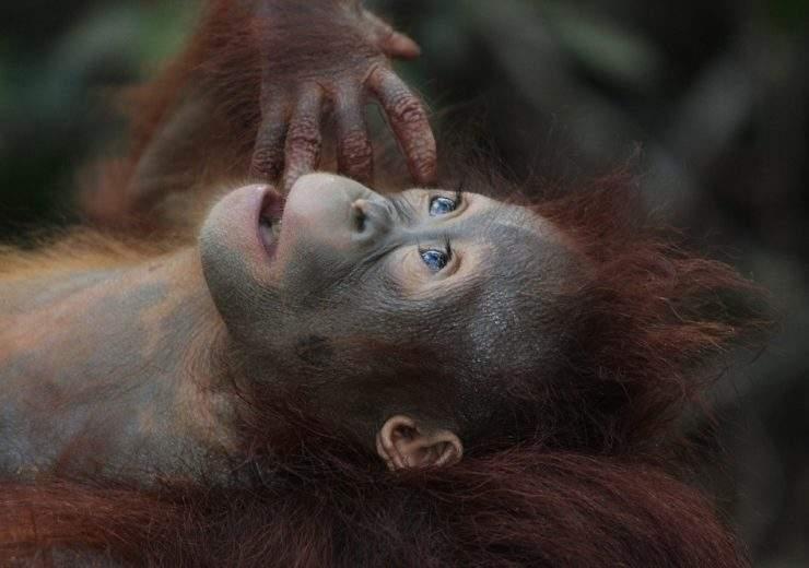 Orangutan Pixabay